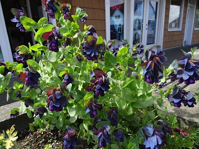 In front of the smoke shop:  Cerinthe major purpurascens
