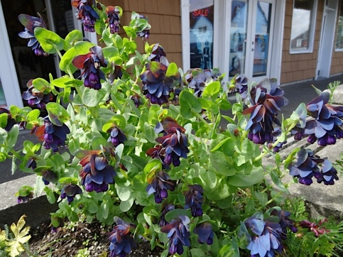 In front of the smoke shop:  Cerinthe major purpurascens