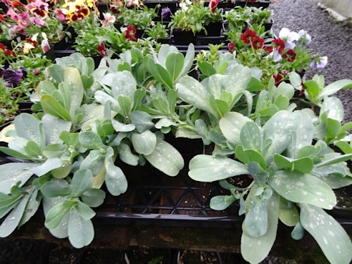 Well grown Cerinthe major purpurascens are hard to find in nurseries.  I'd snap these up if I were you.