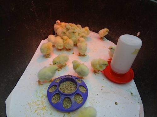 baby chicks at the Planter Box