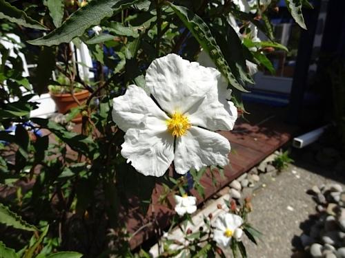 Cistus flower