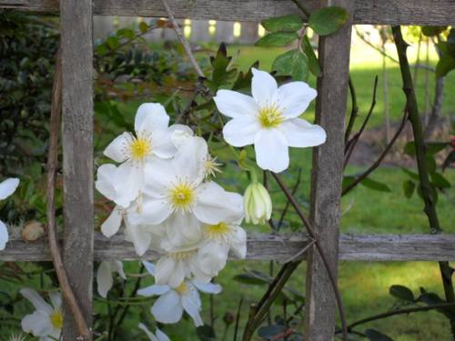 Clematis (photo by Kathleen Shaw)