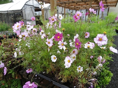 Wish I had more of this picotee cosmos.