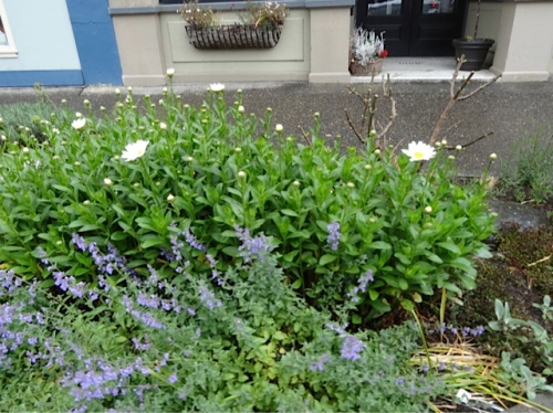 daisies and catmint