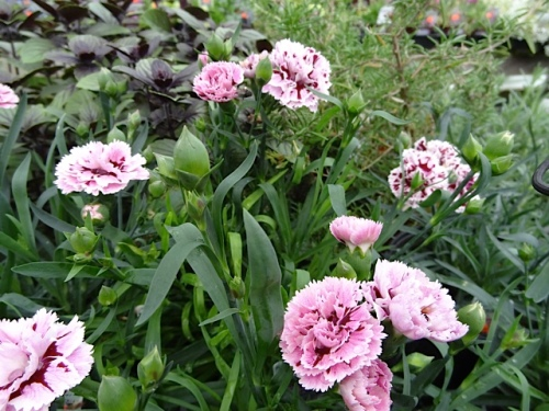 a frilly dianthus