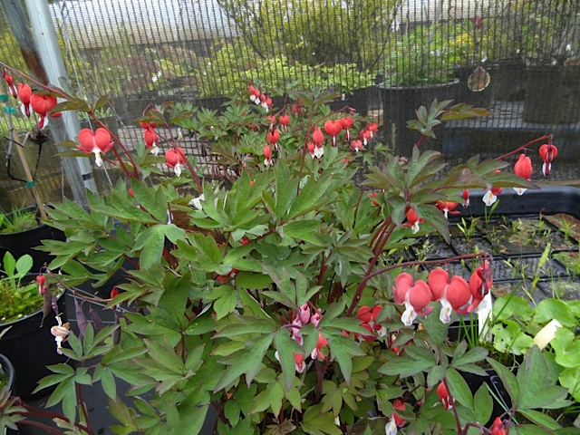 Dicentra 'Valentine', now on my must have list.