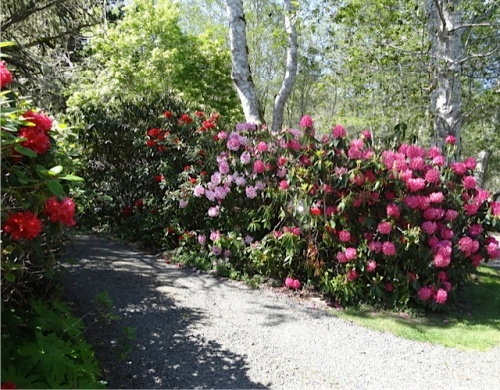 a long driveway lined with rhodos
