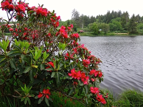 Black Lake rhododendron