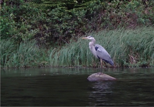 Allan was able to quietly float up to this heron.