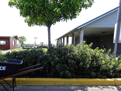 Allan pruned some of the California wax myrtle shrubs between the bank and the Ilwaco Pavilion.