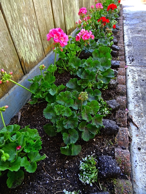 Allan's photo: his project of planting geraniums edged with white alyssum