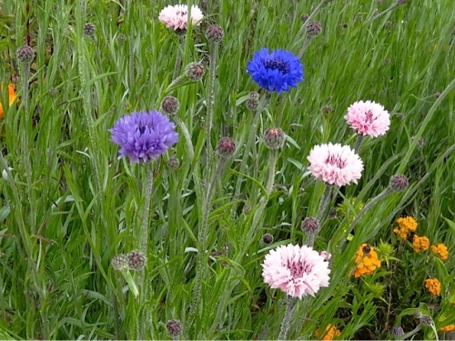 Allan's photo: a wildflower patch of garden with bachelor buttons