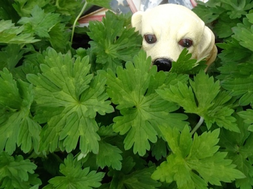 Allan's photo: This small dog has appeared in the Geranium 'Rozanne' next to the boat