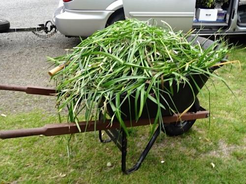 Two wheelbarrow loads of foliage came out.