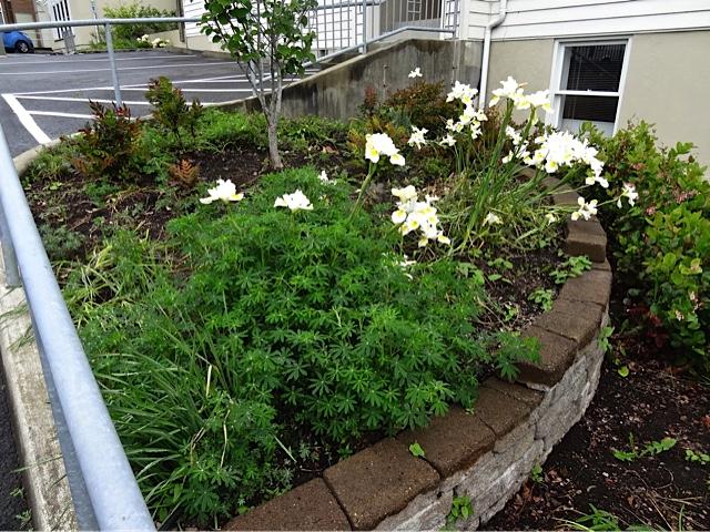 Dutch iris still blooming in the tiered garden (Allan's photo)