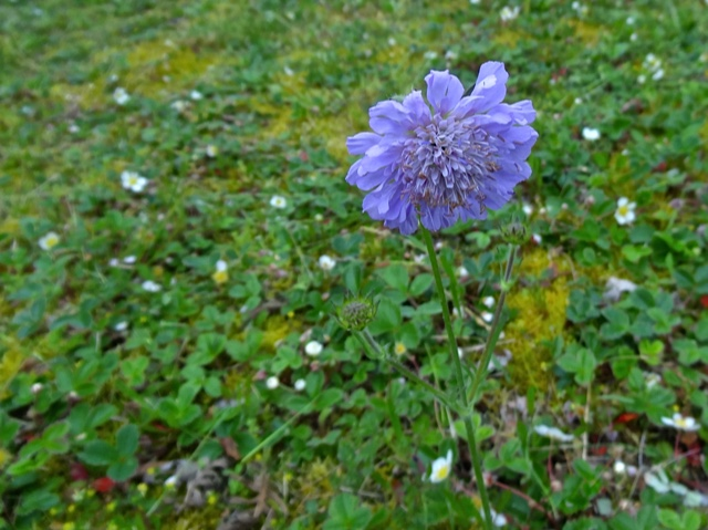 Allan strimmed the center lawn and spared a scabiosa that had reseeded there.