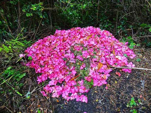 In the dump pile, Allan found this pile of spent flowers from Rhododendron 'Cynthia', raked from the lawn.