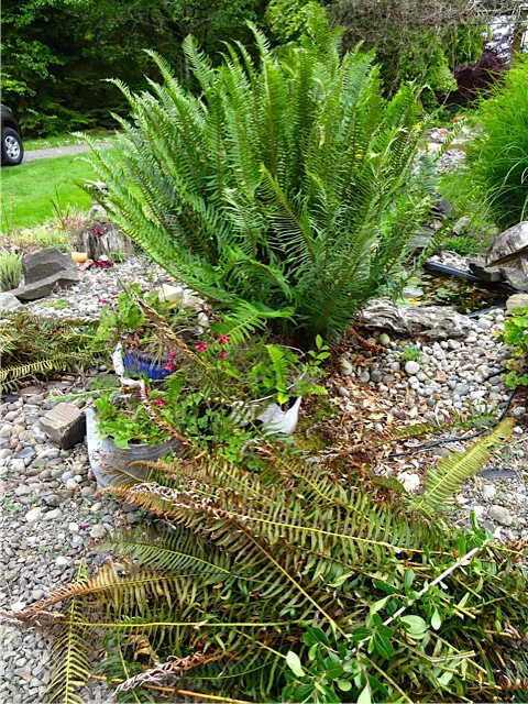 Here is one that Fred just trimmed in the display garden.  (You can trim them carefully at end time; it is easier in early spring before the new fronds have unfurled.)