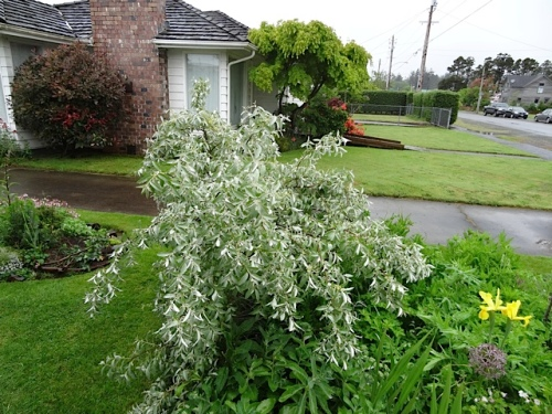 by the driveway:  Eleagnus 'Quicksilver' bowed low by rain.  (Thanks, Todd, for IDing this plant for me.)