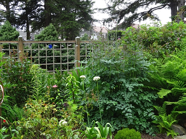 to the right: Thalictrum 'Elin'