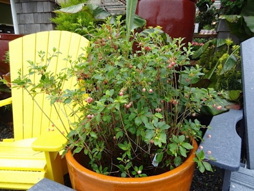 Enkianthus in a large pot by the entryway
