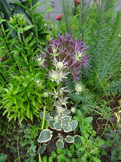 post office detail: Eryngium 'Jade Frost' and Allium albopilosum