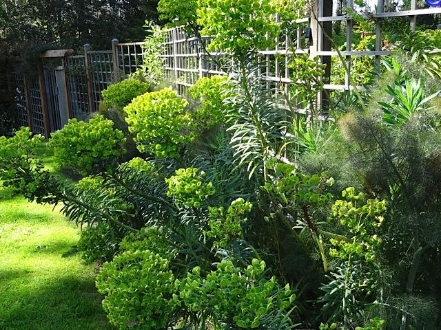 Euphorbia characias wulfenii outside the deer fence