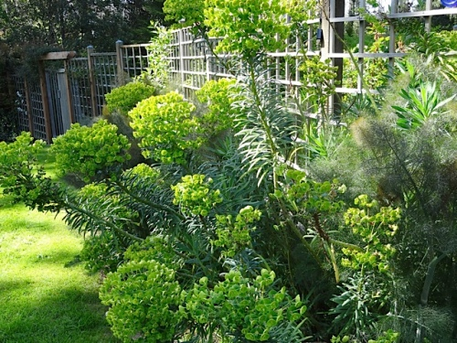Euphorbia characias wulfenii outside the deer fence