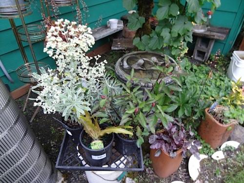 Euphorbia, Eucomis, Salvia