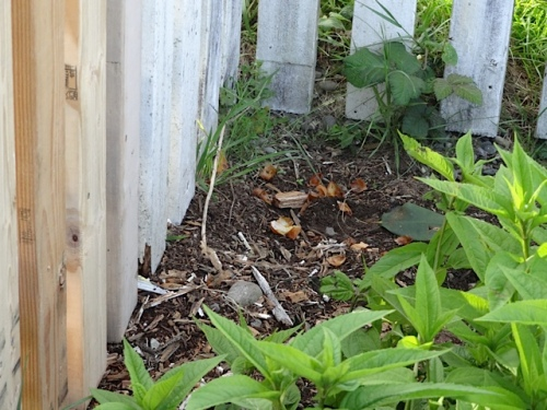 Just as I had feared, the new fence slats had made a mess of my sweet pea area.