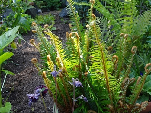 sword ferns and columbine