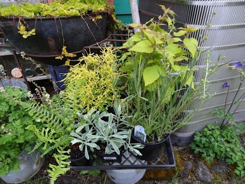 some $2.00 ferns and Agastache 'Golden Jubilee' from Fred Meyer
