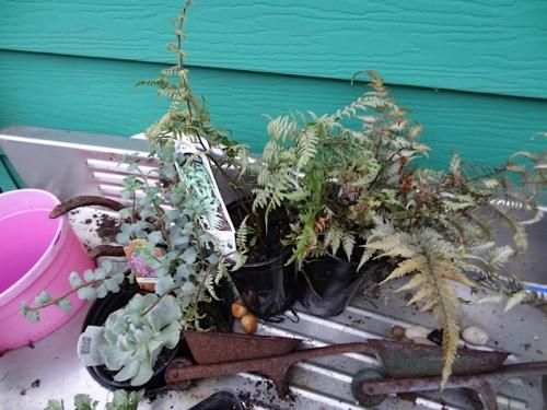 more little ferns and a sedum