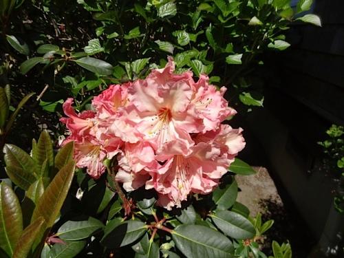 rhodo flower
