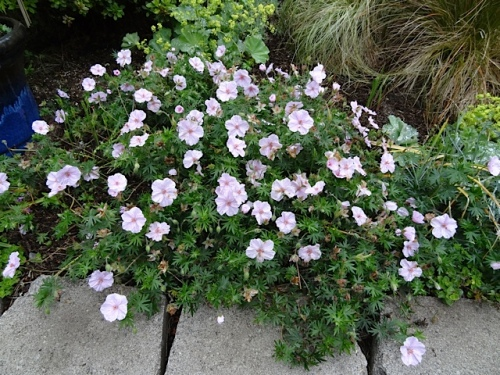 by the driveway: a well behaved perennial geranium