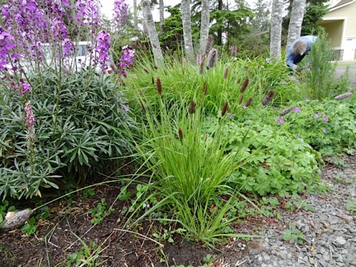 bunny tail grass, and Allan weeding
