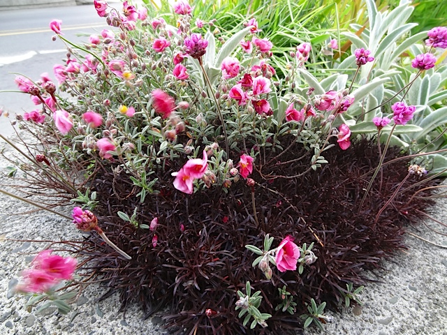 Helianthemum 'Wisley Pink' about to bloom with a red leaved Armeria