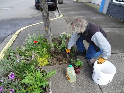 Planting an Eryngium and a  Agastache. both with blue flowers,  in front of Azure salon.