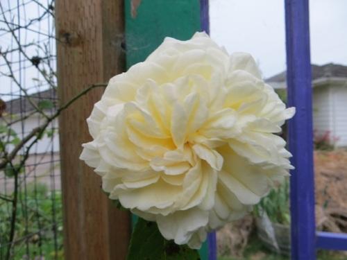Rose 'Gloire de Dijon'