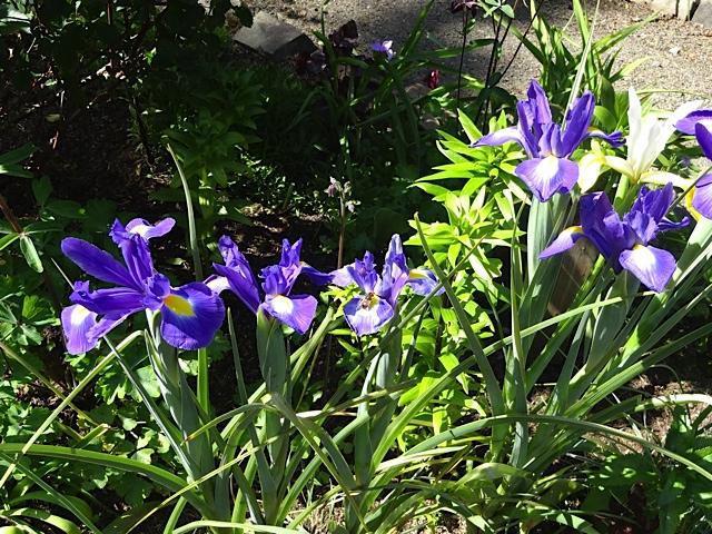 inside the deer garden: Dutch Iris