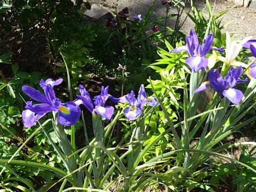 inside the deer garden: Dutch Iris