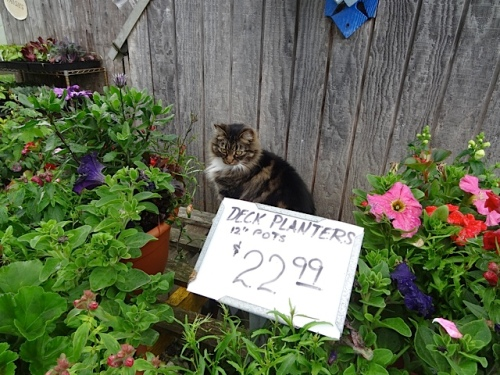 Kitty poses among the annuals