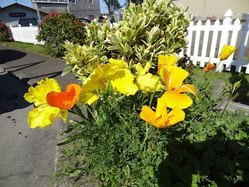 and noticed these California poppies in a nearby planter