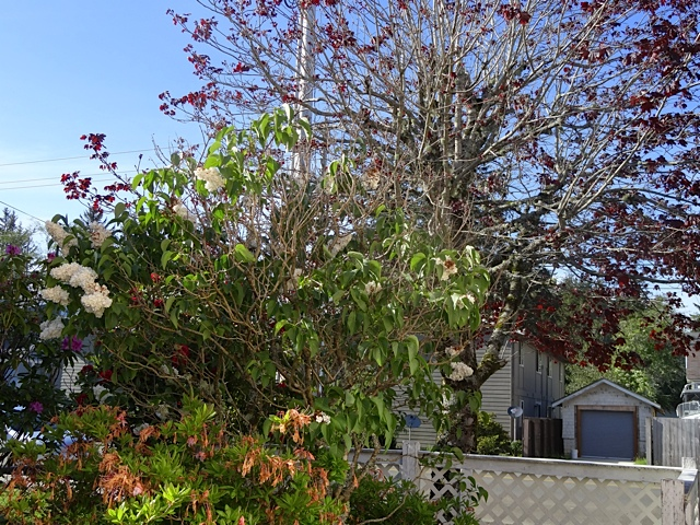 Allan pruned a lot of dead out of a lilac.