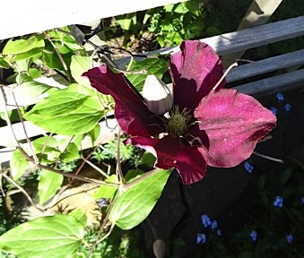 a clematis peeking through the lattice