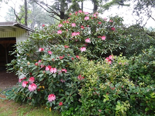 The rhododendron in question