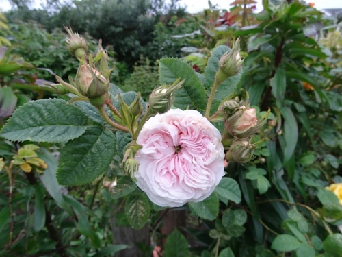 a fragrant old rose (moved from my other garden, lost the ID on the way)