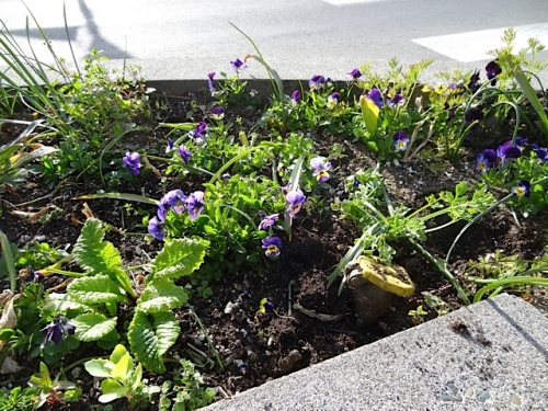 street planter by Lewis and Clark Square, lots of little violas have reseeded