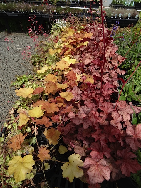 some handsome heucheras on our way back to the last greenhouse