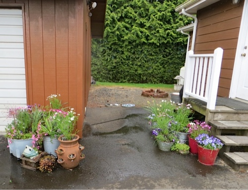 lots of containers all planted up in the back yard